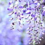立夏~藤の花