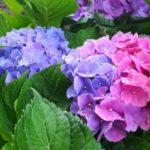 芒種~紫陽花